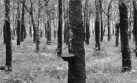 Latex from rubber trees